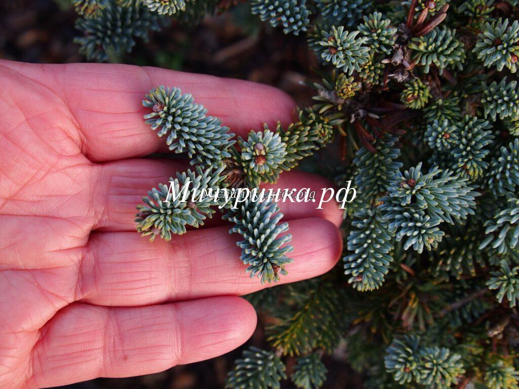 П. благородная «Прокамбенс» (A. procera «Procumbens»)
