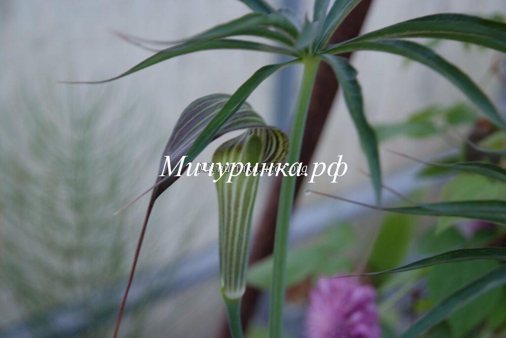 Аризема реснитчатая (Arisaema ciliatum)