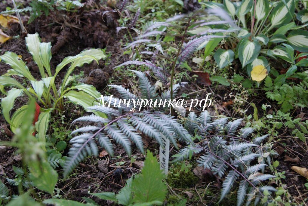 Кочедыжник ниппонский «Сильвер Фоллс» (Athyrium niponicum «Silver Falls»)