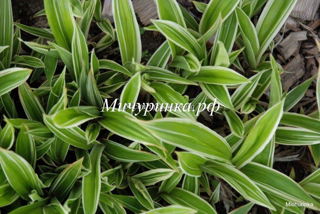 Осока килиомаргината Треша Айсленд (Carex ciliatomarginata Treasure Island)