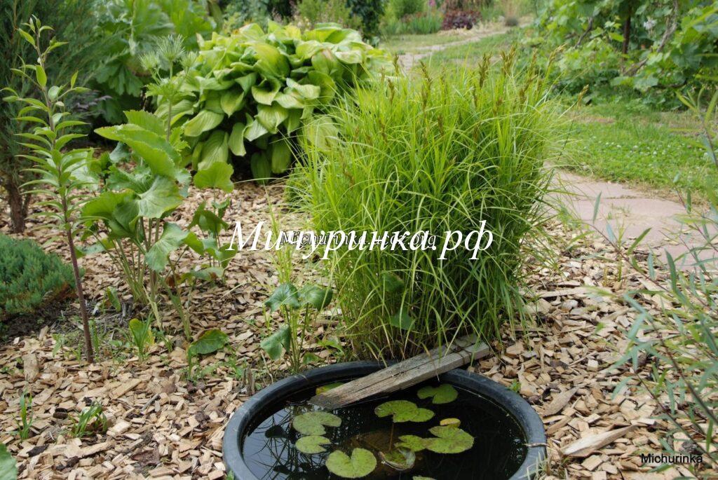 Осока пальмолистная (Carex muskingumensis)
