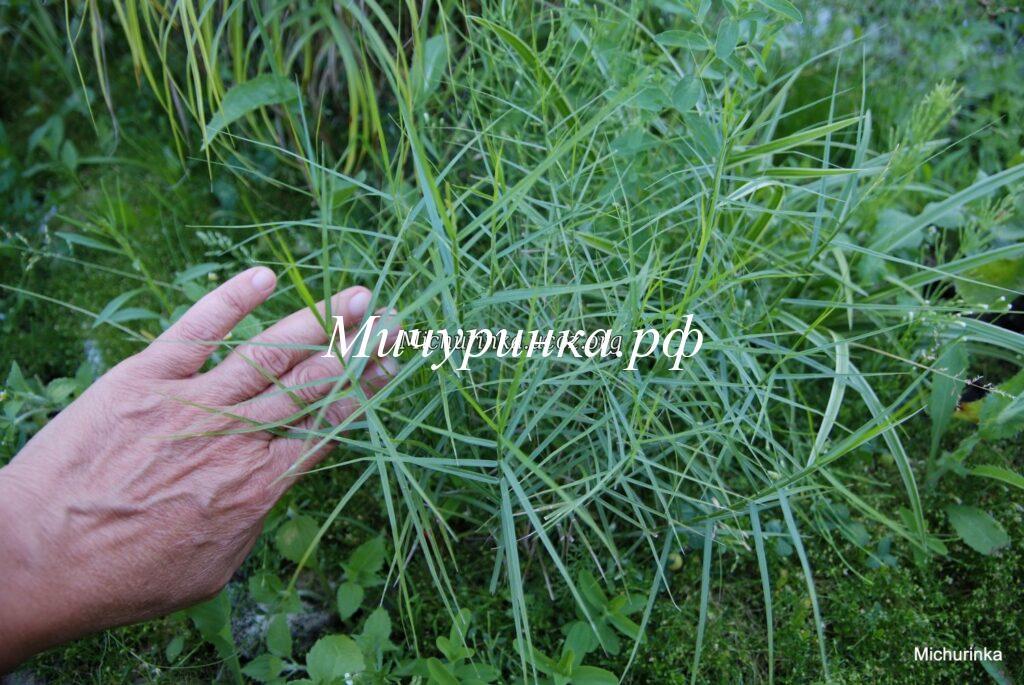Осока пальмолистная Литтл Мидж (Carex muskingumensis Little Midge)