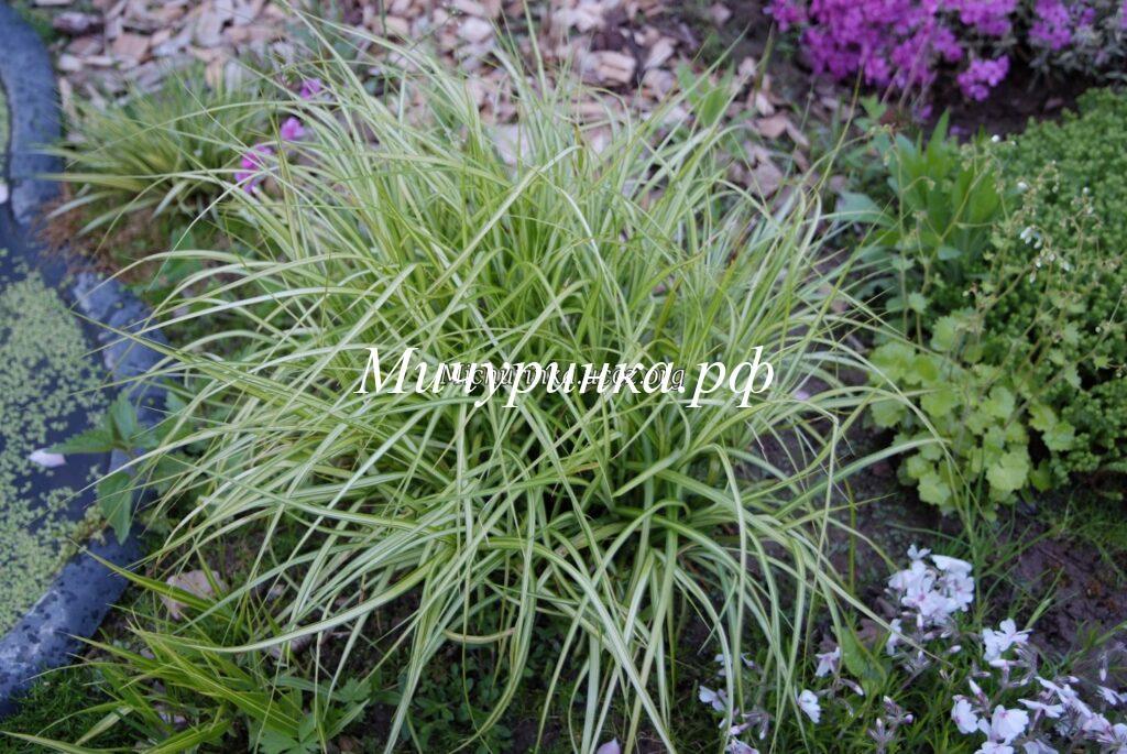 Осока пальмолистная Вариегата (Carex muskingumensis Silberstreif syn. Variegata)