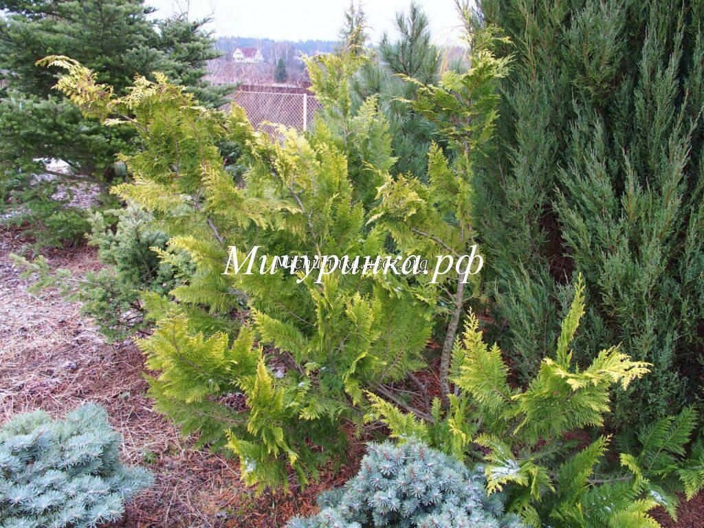 Кипарисовик Лавсона «Ивонне» (Chamaecyparis lawsoniana «Ivonne»)