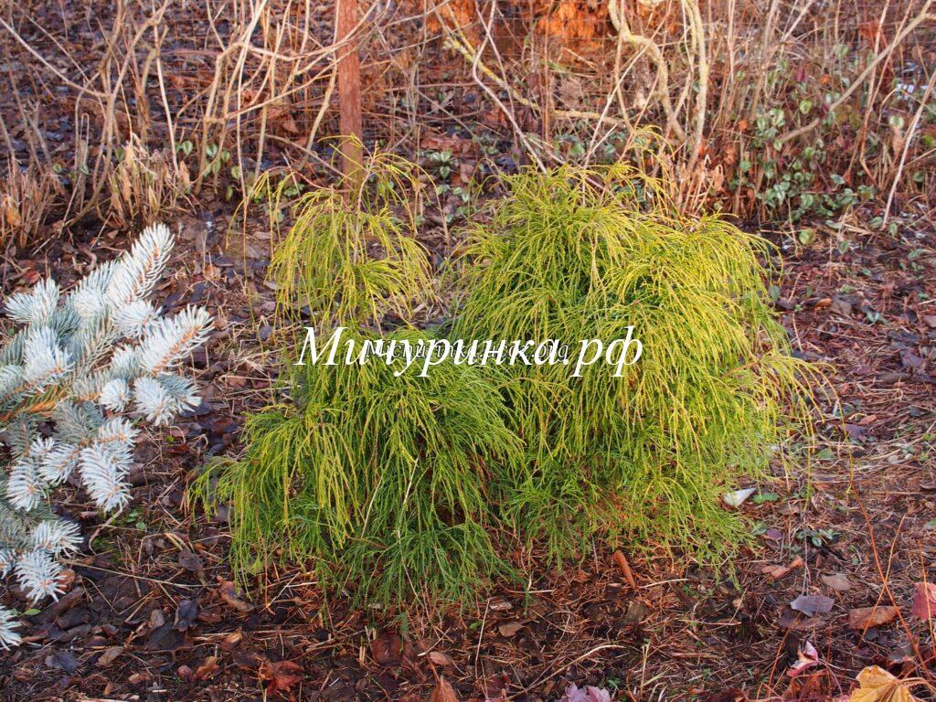 Кипарисовик горохоплодный «Филифера Ауреа» (Chamaecyparis pisifera «Filifera Aurea»)
