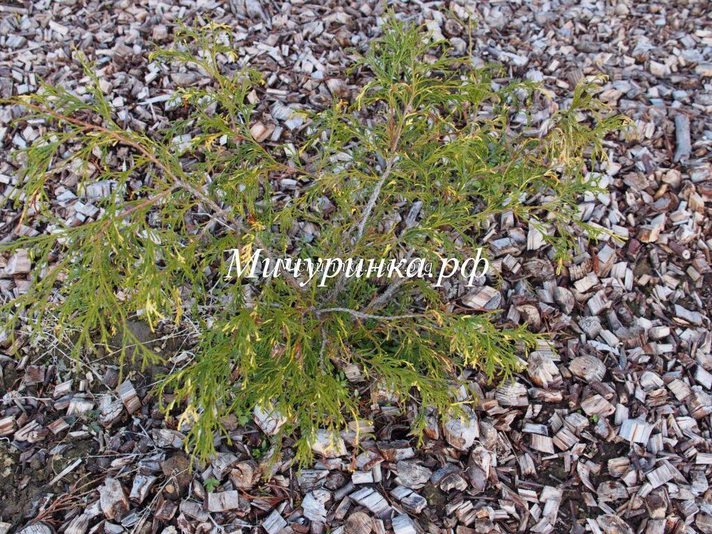 Кипарисовик горохоплодный «Филифера Ауреовариегата» (Chamaecyparis pisifera «Filifera Aureovariegata»)