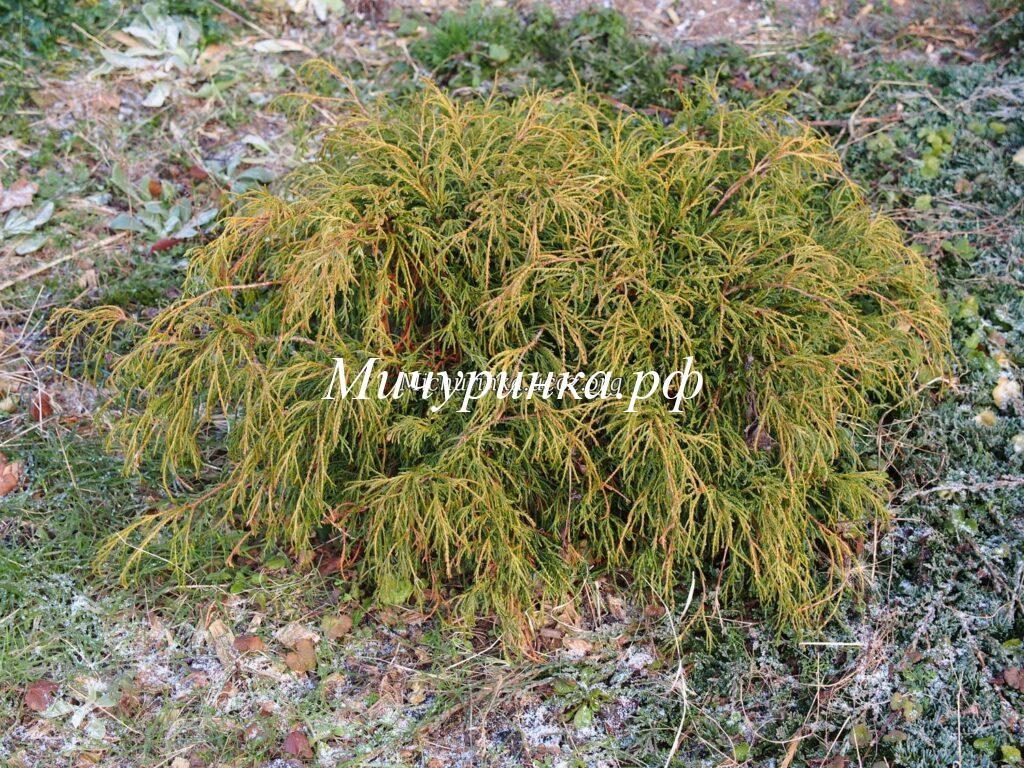 Кипарисовик горохоплодный «Филифера Нана» (Chamaecyparis pisifera «Filifera Nana»)