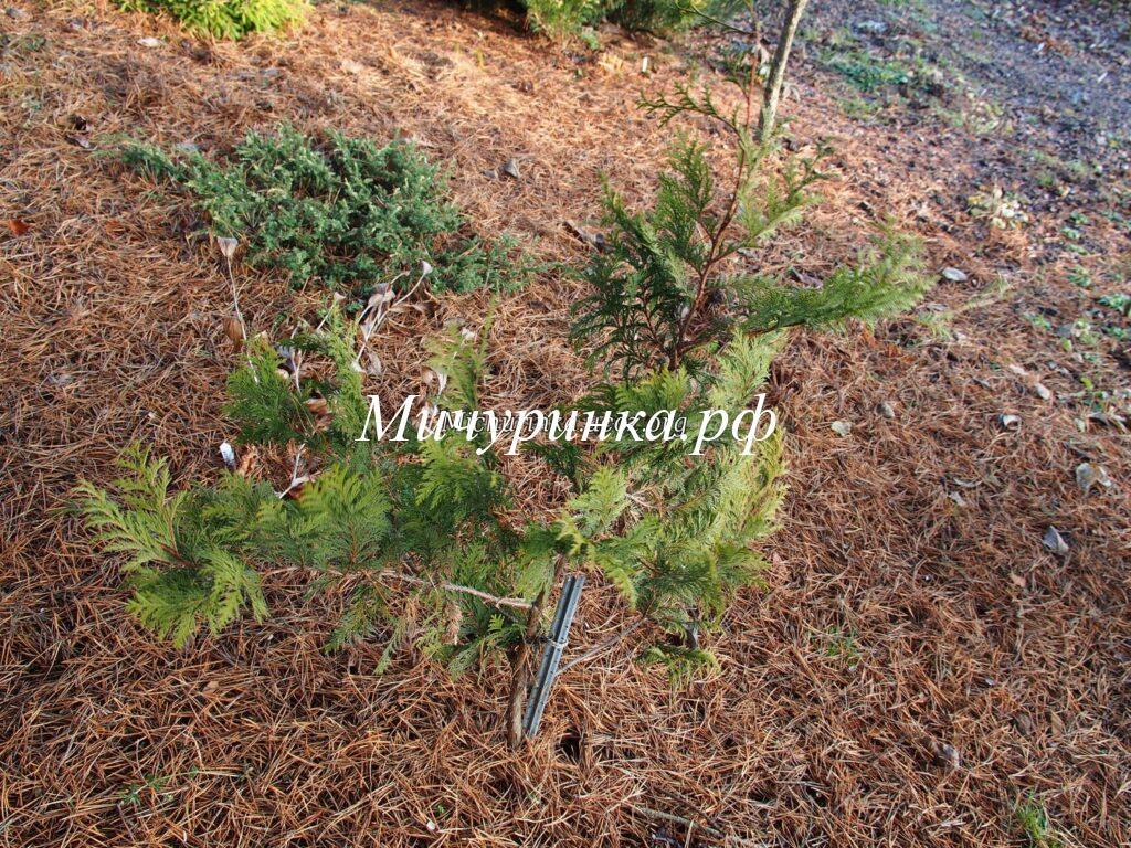 Кипарисовик горохоплодный «Вайт Бьюти» (Chamaecyparis pisifera «White Beauty»)