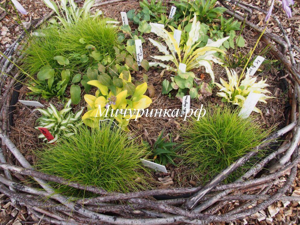 Щучка извилистая Татра Голд (Deschampsia flexuosa Tatra Gold)