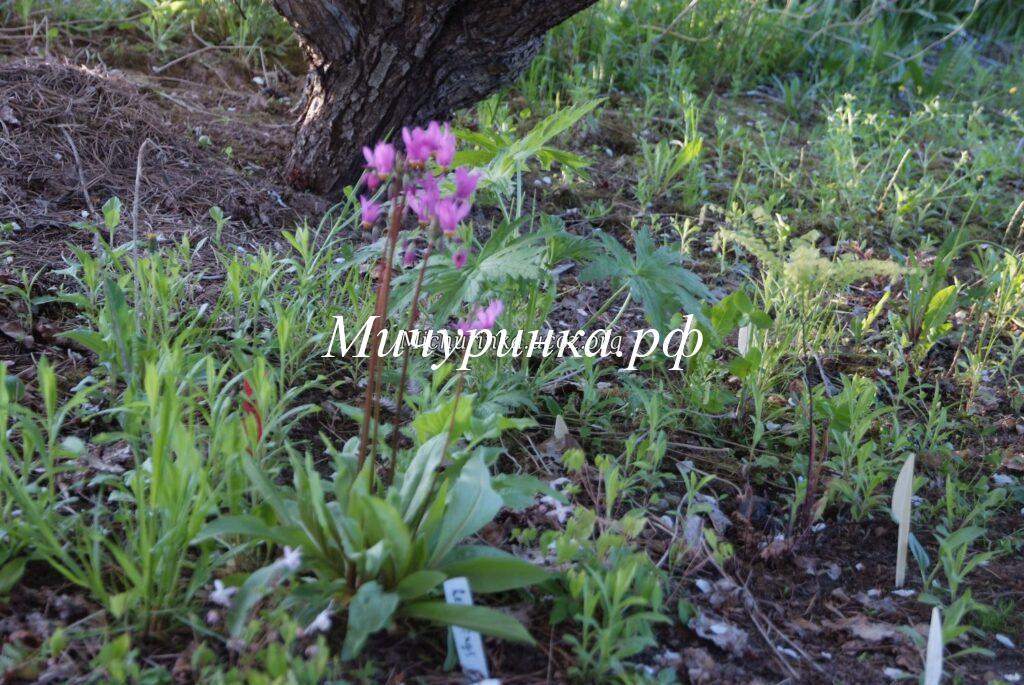 Додекатеон красивенький (Dodecatheon pulchellum) «Red Wings»