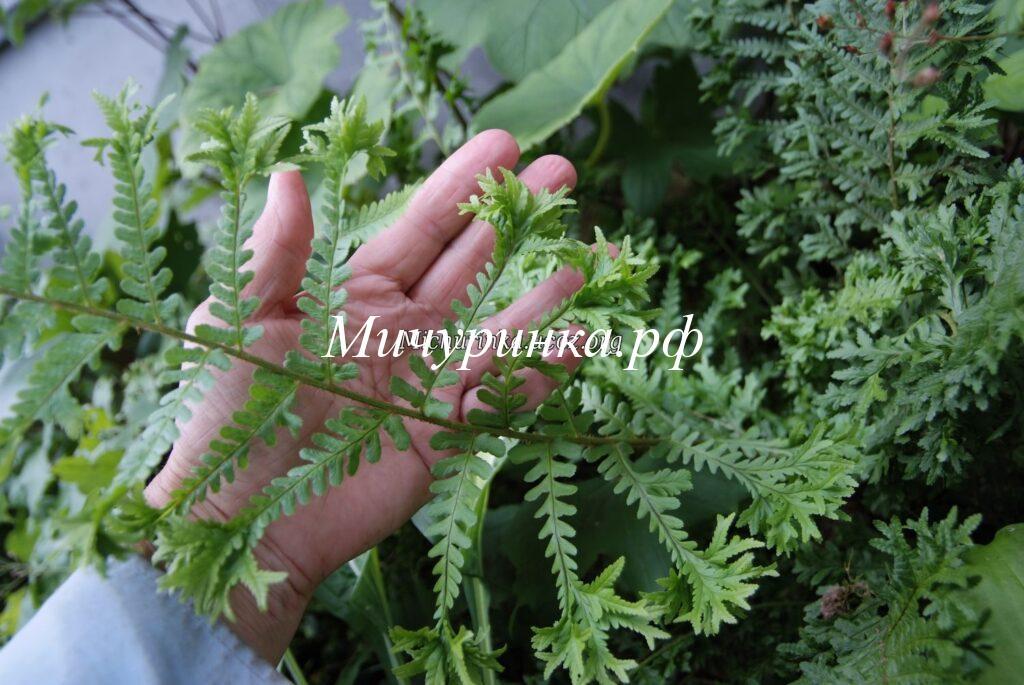 Щитовник мужской «Криспа Кристата» (Dryopteris filix-mas «Crispa Cristata»)