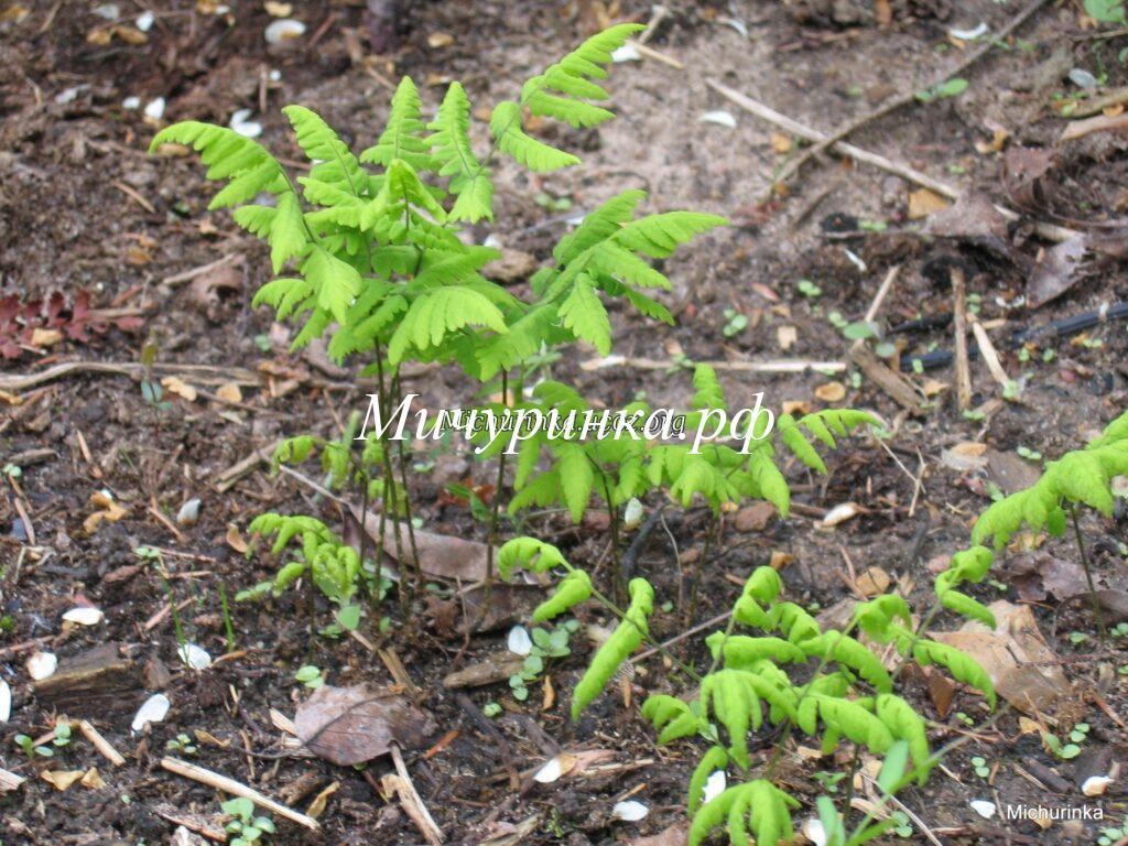 Голокучник трехраздельный или Гимнокарпиум трехраздельный или Щитовник Линнея (Gymnocarpium dryopteris=Dryopteris linnaeana)