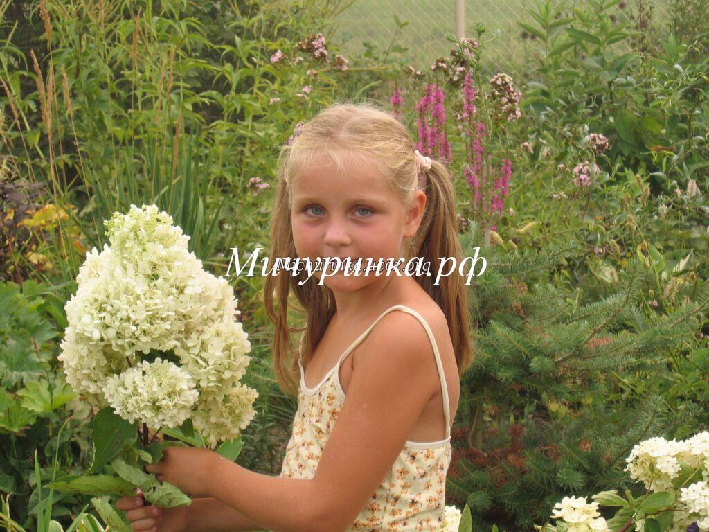 Гортензия Grandiflora