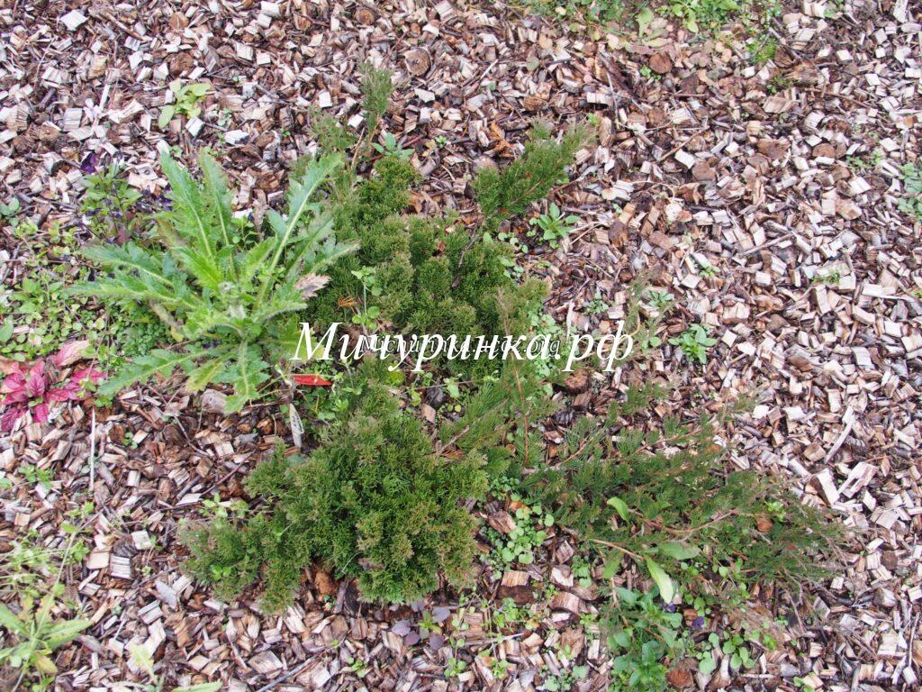 Можжевельник горизонтальный «Конгломерата» (Juniperus horizontalis «Conglomerata»)