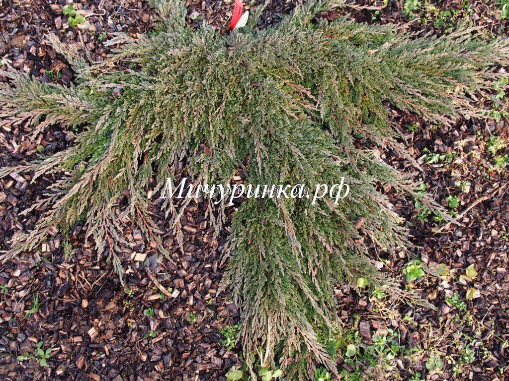 Можжевельник горизонтальный «Панкейк» (Juniperus horizontalis «Pancake»)