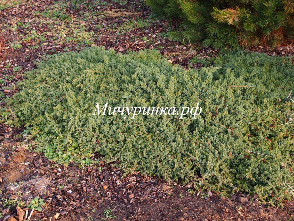 Можжевельник лежачий «Нана» (Juniperus procumbens «Nana»)