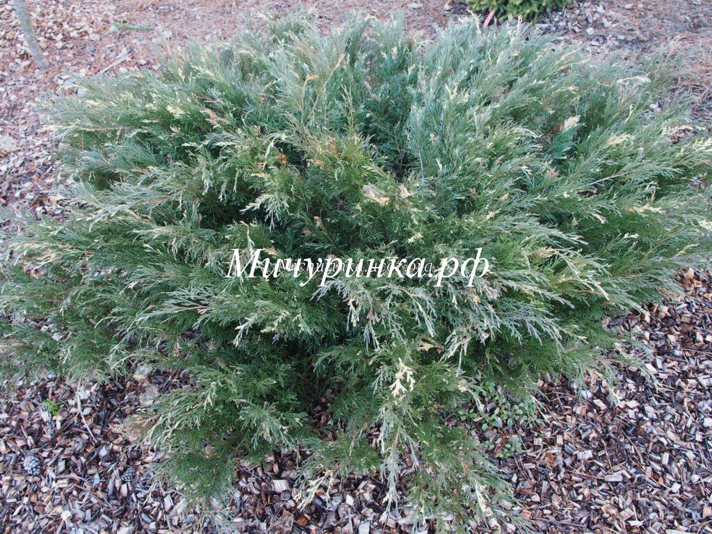Можжевельник казацкий «Вариегата» (Juniperus sabina «Variegata»)