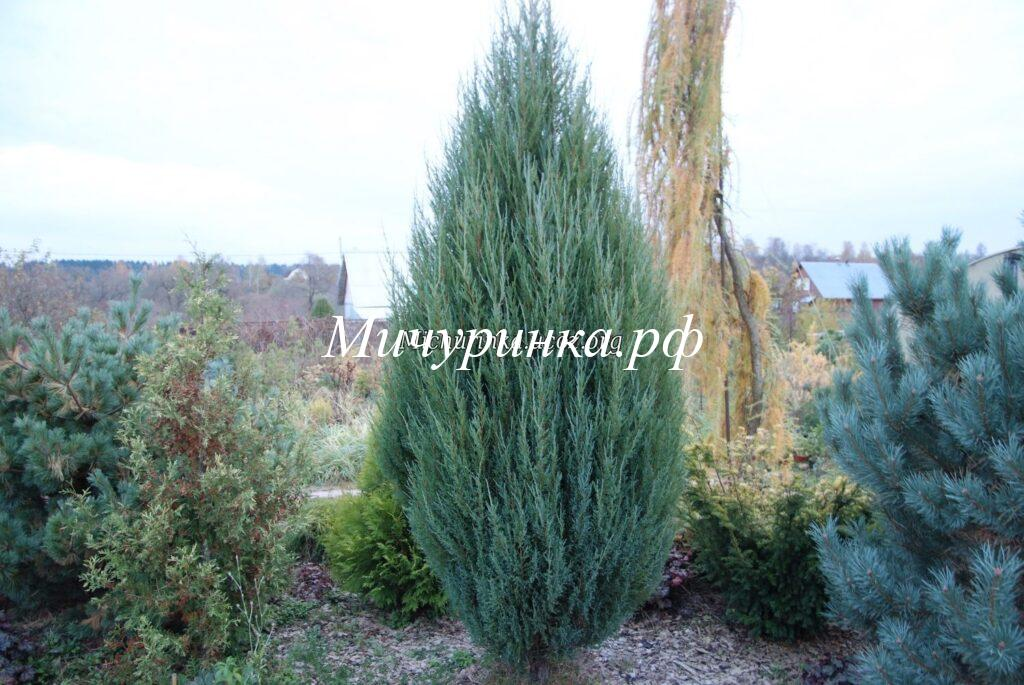 Можжевельник виргинский «Блу Эрроу» (Juniperus virginiana «Blue Arrow»)