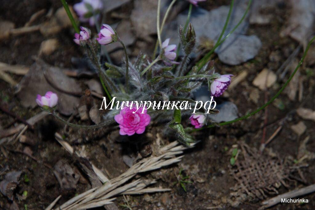 Печеночница благородная f. rosea plena