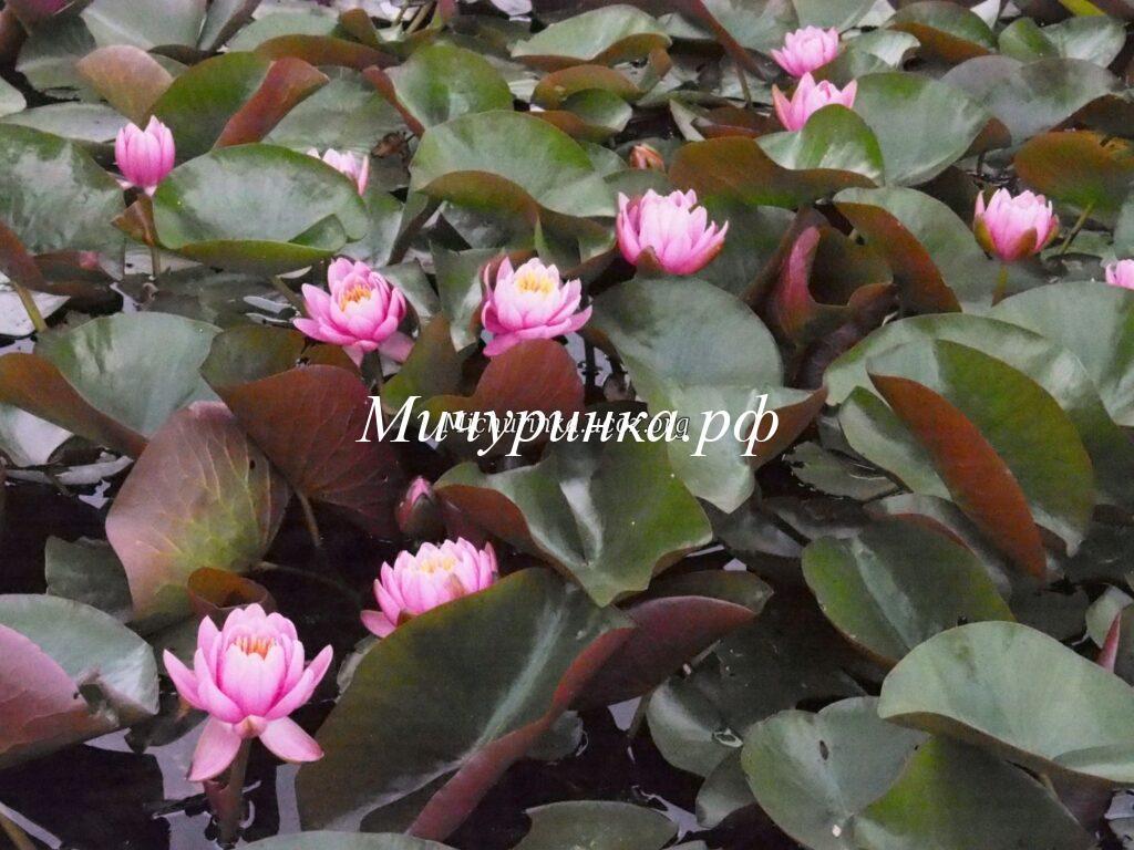 Марлиака Розеа (Marliacea Rosea)
