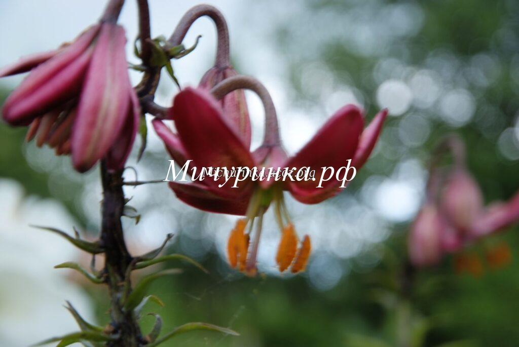 Лилия кудреватая (саранка) вид и сорта