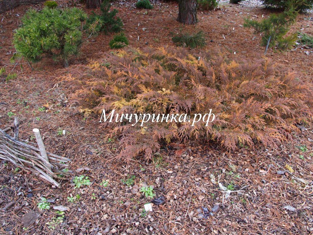 Микробиота перекрестнопарная «Голдспот» (Microbiota decussata «Goldspot») - осень