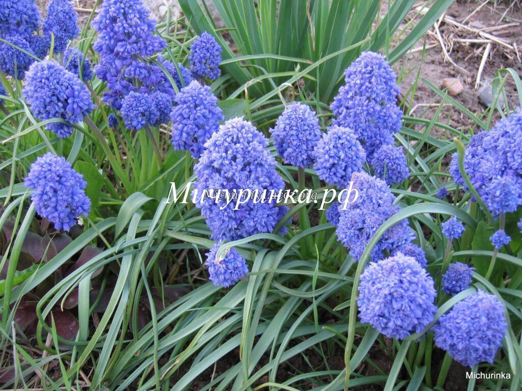 Мускари армянский «Blue Spike»