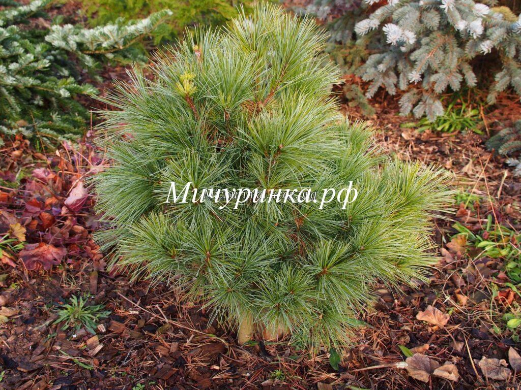 С. Шверина «Витхорст» (Pinus Schwerinii «Wiethorst»)