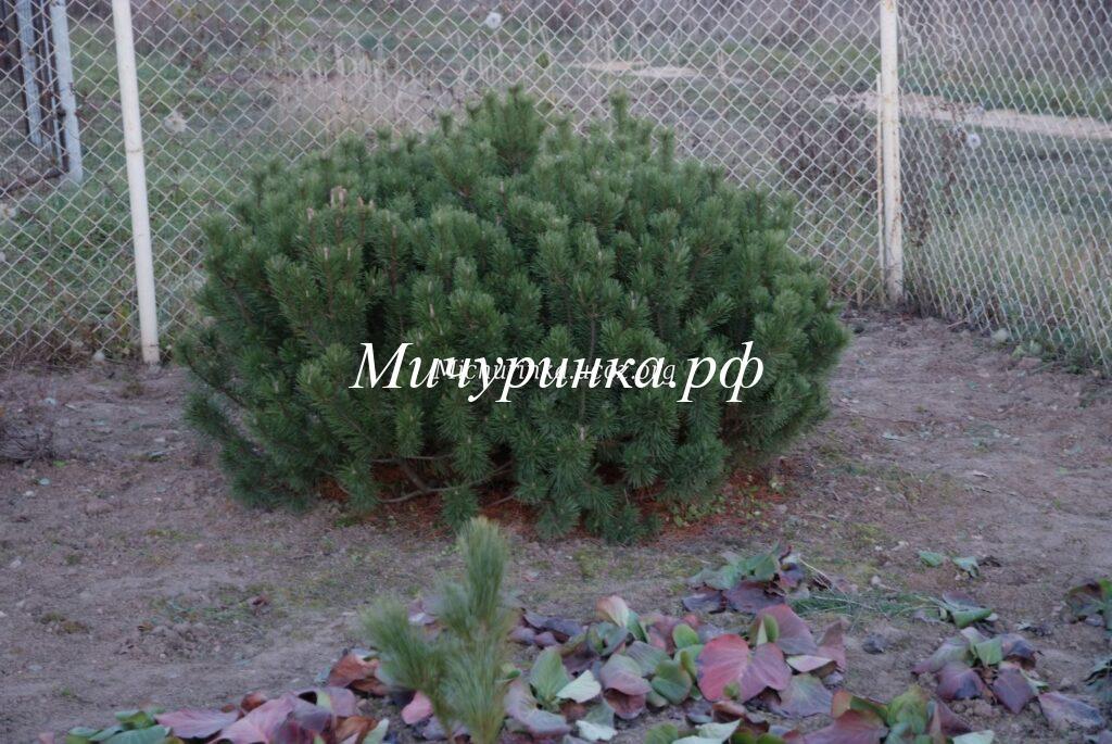 С. горная «Мугус», или вар. мугус (P. mugo «Mughus» или var.mughus)