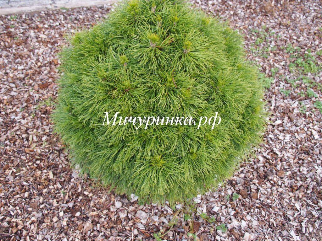 Сосна горная «Варелла» (Pinus mugo «Varella»)