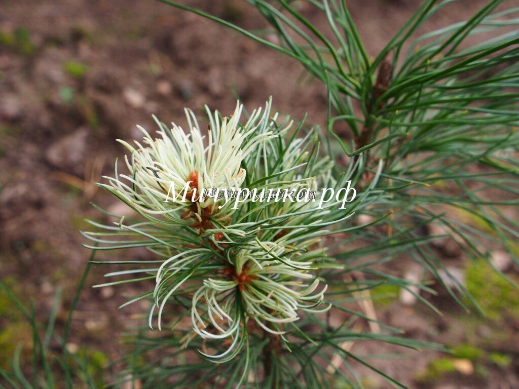 Сосна мелкоцветковая Танима но Юки (Pinus parviflora «Tanima-no-yuki»)