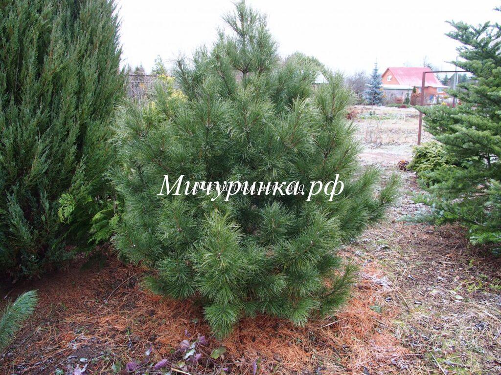 С. кедровая сибирская «Плантационный 054» (P. sibirica «Plantacionniy»)