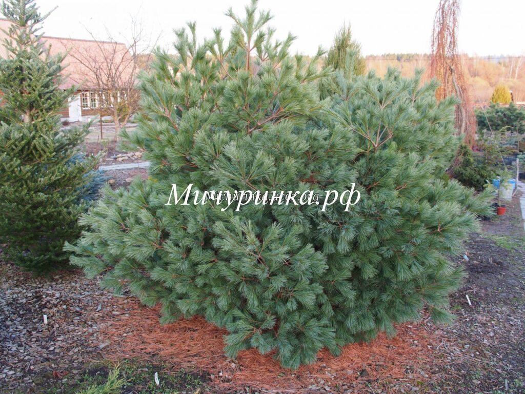 Сосна веймутова «Блу Шег» (Pinus strobus «Blue Shag»)