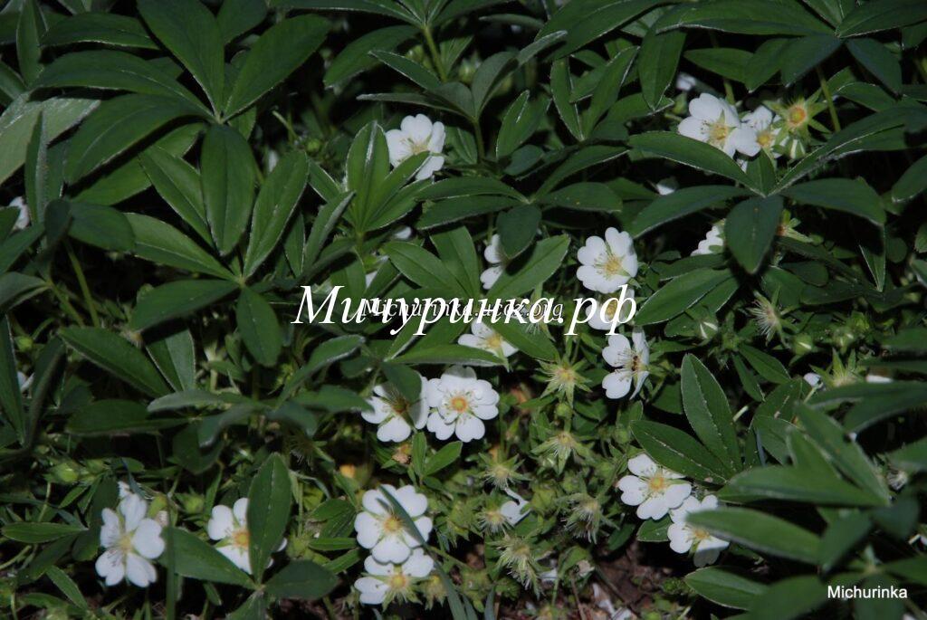 Лапчатка белая (Potentilla alba) (лекарственная)
