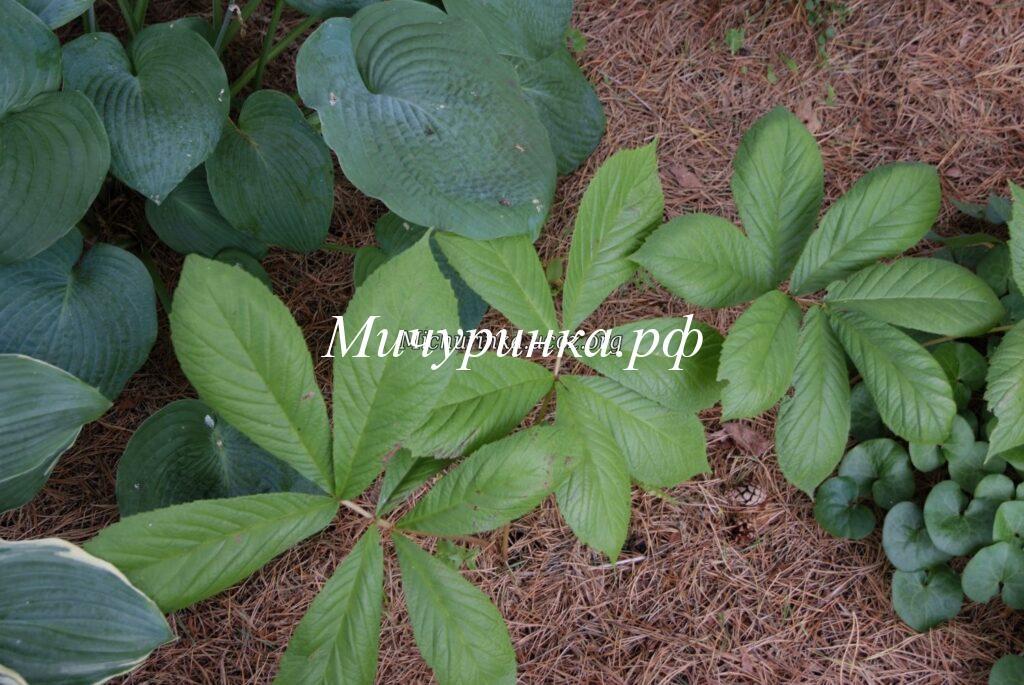 Роджерсия каштанолистная вар. Хенрици (Rodgersia aesculifolia var. henrici).