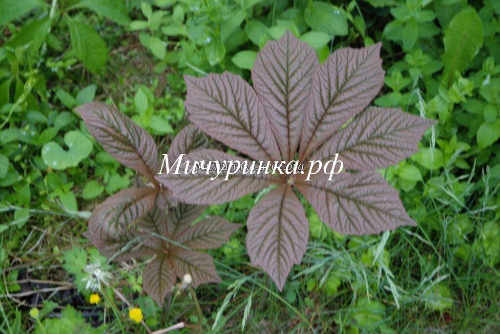 Роджерсия перистая (R. рinnata) «Chocolate Wings»