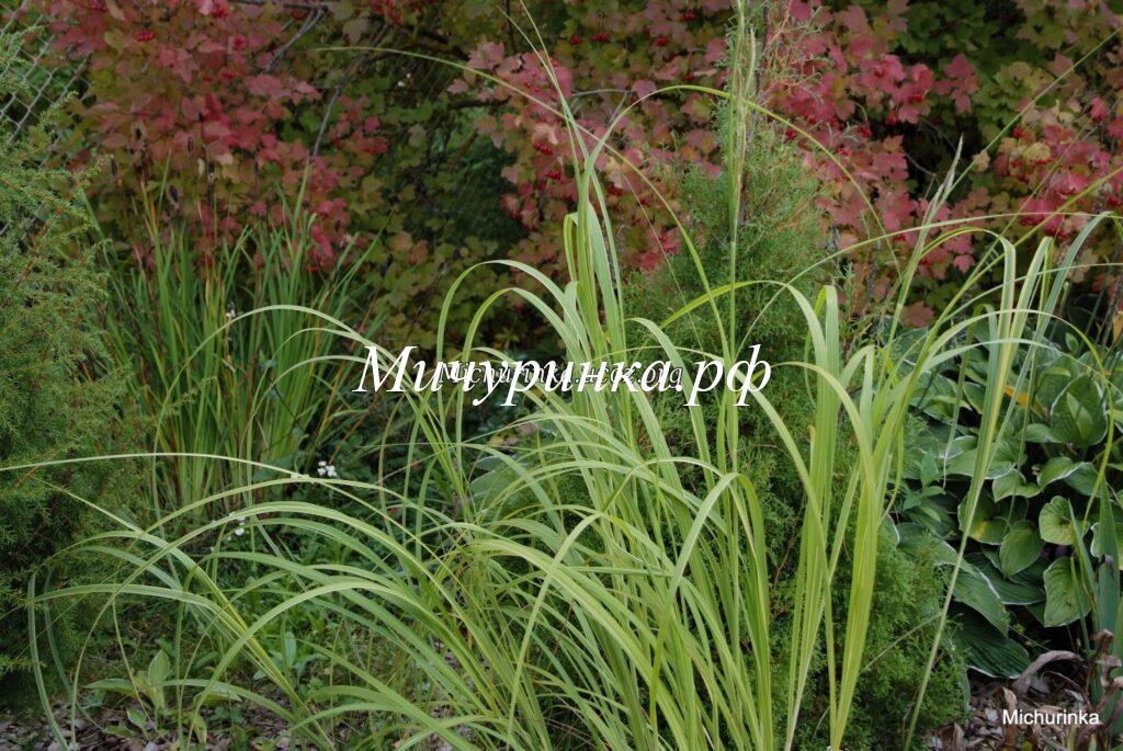 Спартина перистая Ауреомаргината (Spartina pectinata Aureomarginata=Aureovariegata)