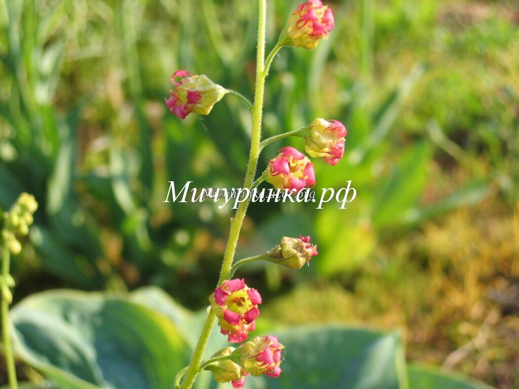 Теллима крупноцветковая (Tellima grandiflora) Purpurteppich