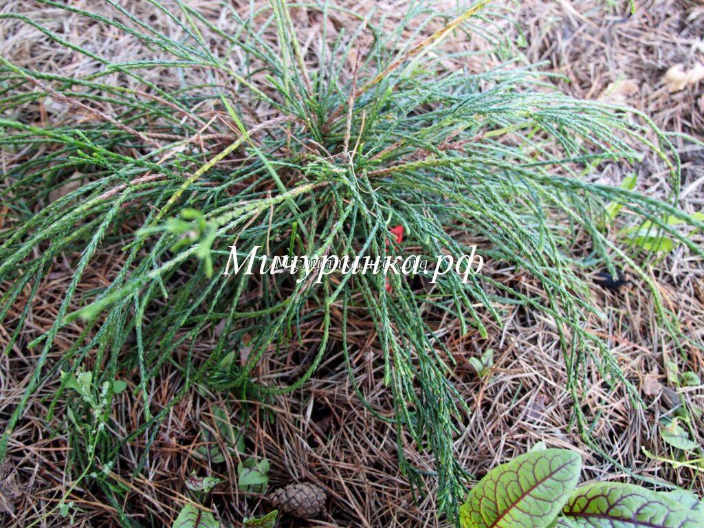 Т. складчатая «Випкорд» (Th. plicata «Whipcord»)