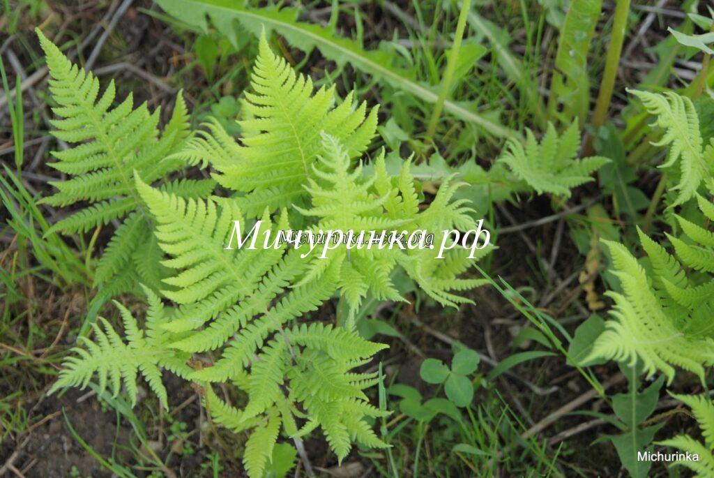 Телиптерис буковый (лесной) или Фегоптерис связывающий (Thelypteris phegopteris)
