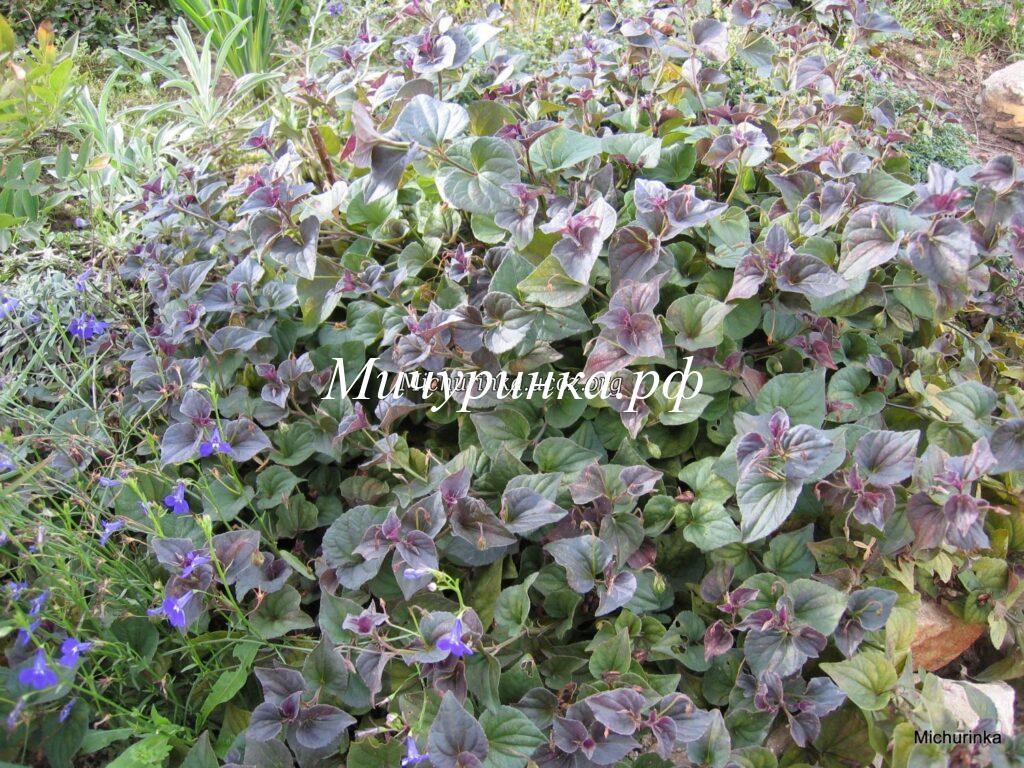 Фиалка лабрадорская «Пурпуреа» (Viola labradorica «Purpurea»)