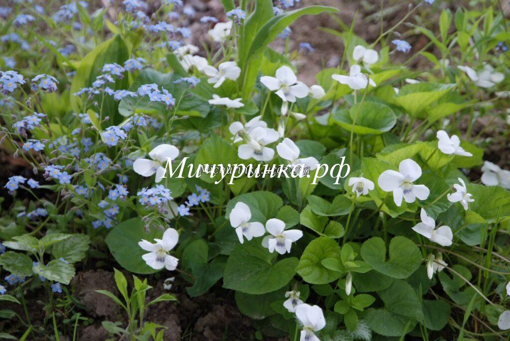 Фиалка сестринская ф. белоцветковая (Viola sororia f. albiflora)