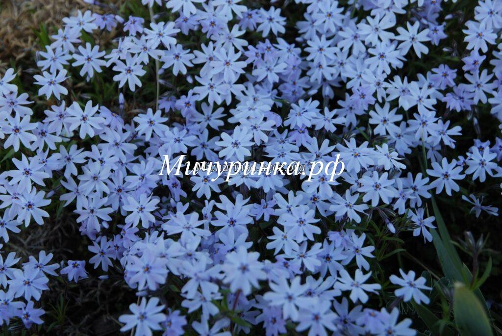 Early Spring Blue