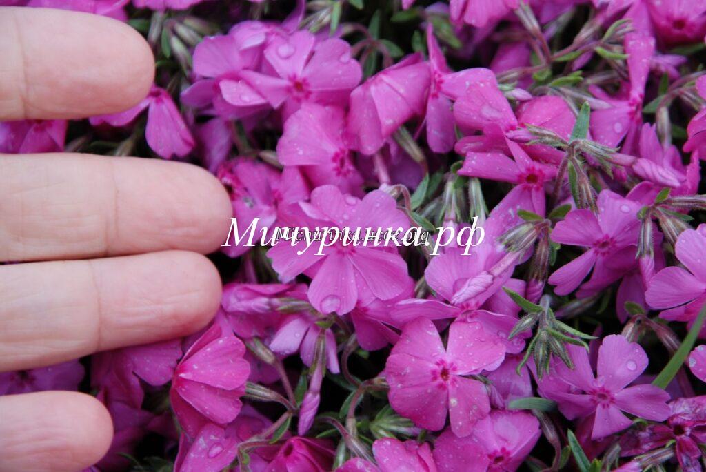 крупноцветковый, ярко-розовый