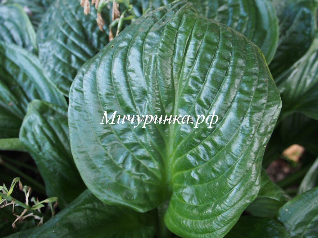 Хосты с зелеными листьями