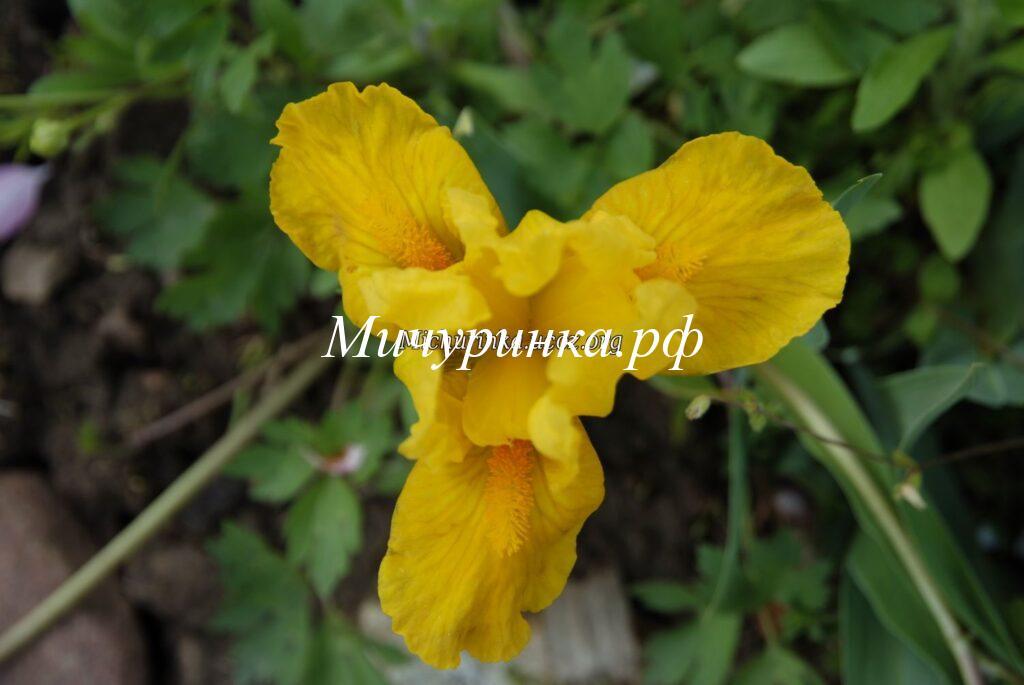 Ирис карликовый «Orange Caper»