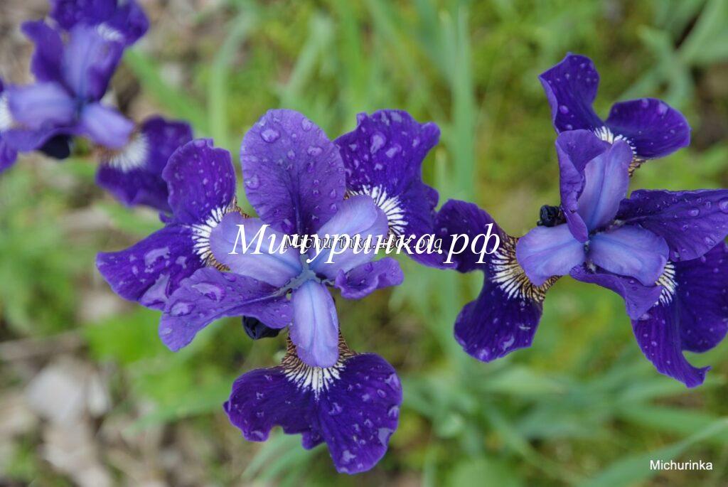 Ирис сибирский «Blue Moon»