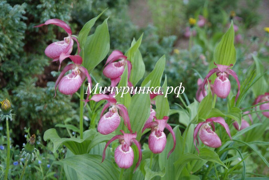 Орхидея венерин башмачок вздутый — Cypripedium х ventricosum