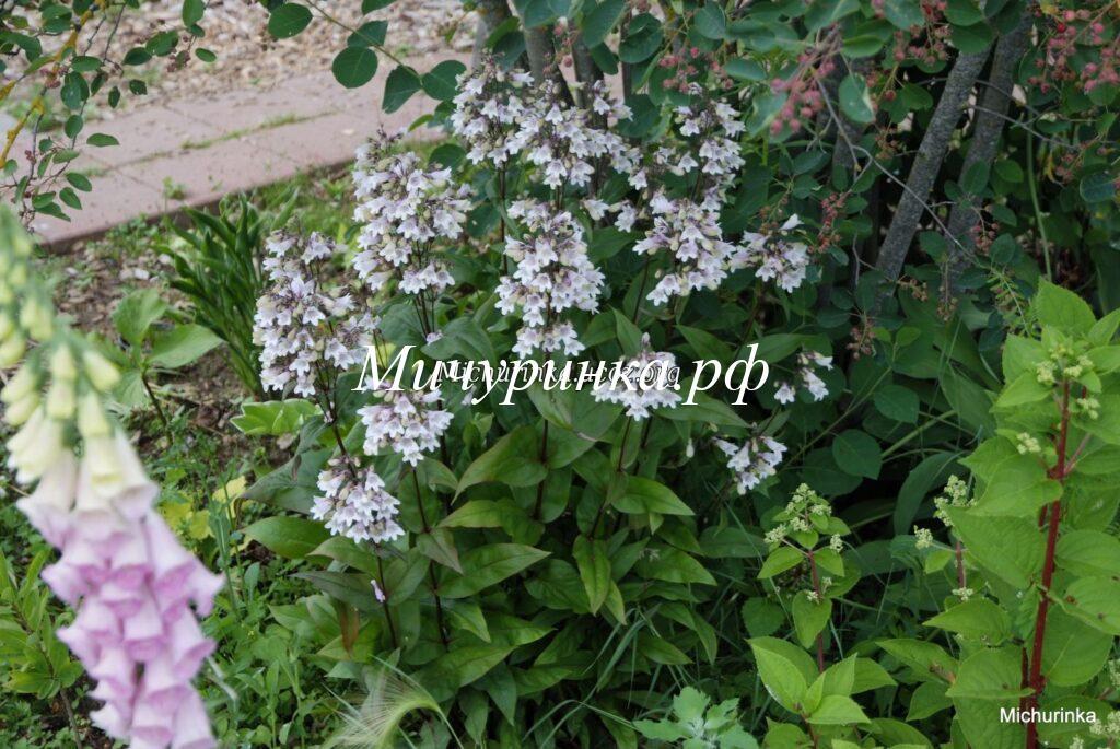 Пенстемон наперстянковый (P. digitalis) «Husker Red»