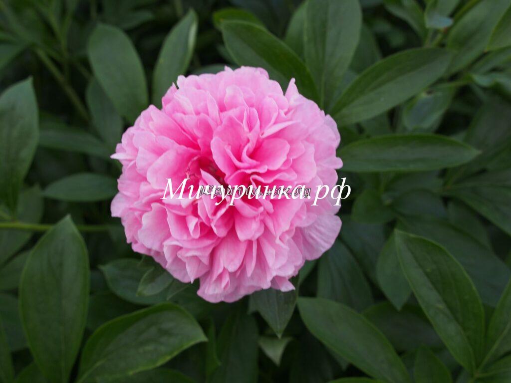 Пион Carnations Bouquet